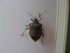 Stinkbug by daveynin on Flickr